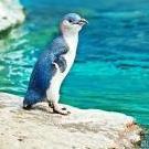 Blueguin